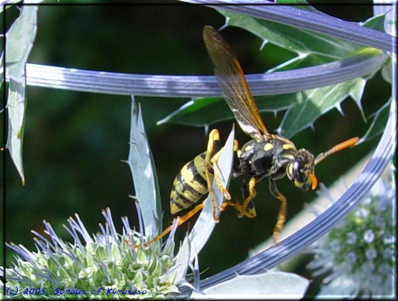 bildergalerie der cattery hornissen auf blaudistel somalis of kumasasa. Black Bedroom Furniture Sets. Home Design Ideas