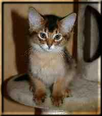 Somali-Katze Int.Ch. Crazy of Candymoor