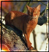 Abyssinian cat Eur.Ch. Karatoya's Gameela (Photo: Alice Rosol)