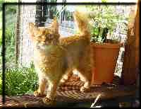 Somali cat Int.Ch. Foxgarden's Kiss Me Kate