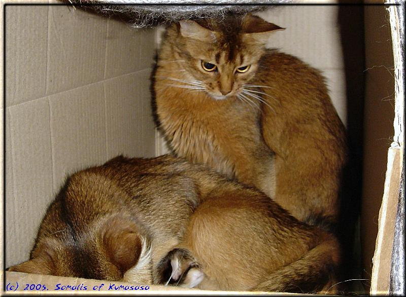 Normally a Somali litter has more kittens than mothers and not vice versa …